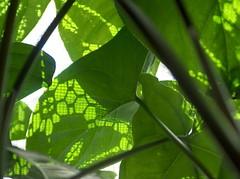 photo-synthesis (Princess Valium) Tags: morning plants green morninglight shadows utata lacecurtain utatagreen