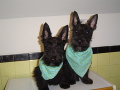 My Scottish Men (notsoprimrose) Tags: black dogs counter ears bandana attentive scottishterrier madigan scotties mcgreggor yellowtiles