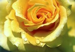 rose-y