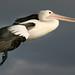 Pelican flying past-02+