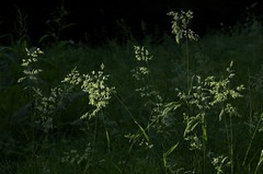 flowers of grass - by Kalense Kid