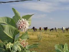 once upon a pasture (salgal) Tags: horses pasture milkweed