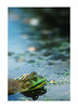 in the pond (Nachosan) Tags: nature animals pond bokeh frog nachosan bokehphotooftheday nikonstunninggallery bokehsoniceaugust bokehsoniceaugust11