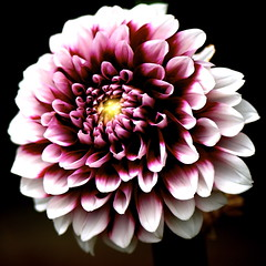 Dahlia (shinichiro*) Tags: dahlia flower color macro love japan tokyo nikon 2006 d200 crazyshin 1on1 105mm 0707 0630 lightcolor 1on1flowers 1on1macros