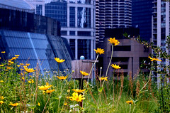 rooftop garden, city hall, chicago (II) (francesDre) Tags: flowers chicago cityhall marinacity countybuilding greenroof rooftopgarden joshsimpson thompsoncenter glassart chicagopublicradio greendesign holabirdroche infinityproject wbezphotooftheday theinspirationalgarden