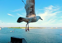 Seagull in Flight (Chris Seufert) Tags: fish ma harbor pier fishing seagull chatham cape cod utatafeature chahtam