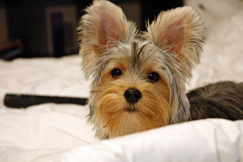 Pictures Of Yorkies With Short Hair. yorkie haircuts