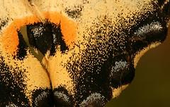 vlindervleugel_close.jpg (henkwilbers) Tags: henk henkwilbers wilbers