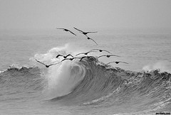 PelicanPatrolIII (mcshots) Tags: ocean california sea bw usa beach pelicans nature water birds coast fly losangeles surf waves feathers socal mcshots swells