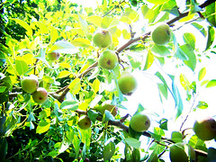 Pear Tree (michaelatacker) Tags: light summer color tree green nature colors fruit pears grow growth top20nature produce edible hue