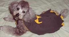 Batdog (Pablo the Doggie) Tags: dog pet animal silver toy ace pablo fluffy canine superman suit jacket poodle cuddly batman batdog superdog