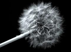 A Slight Breeze Will Kill Me....Be Gentle (taylorkoa22) Tags: flowers newmexico flower floral garden weed albuquerque dandelion abq marc botanic nm feathery marcgutierrez