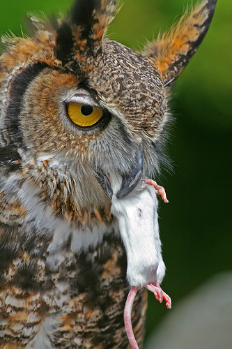 Do Horned Owls Eat Dogs