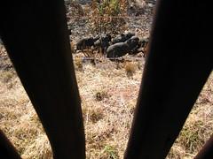 behind bars (sizeight) Tags: grass birds southafrica guineafowl highveld pilansberg