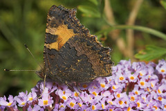 """Small Tortoiseshell (Aglais urticae)((3) • <a style=""""font-size:0.8em;"""" href=""""http://www.flickr.com/photos/57024565@N00/192520333/"""" target=""""_blank"""">View on Flickr</a>"""