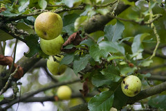 apples (*Sabine*) Tags: autumn germany deutschland europa europe herbst apples bergischesland appletree solingen weinsbergtal year:uploaded=2006 sabinesteinmller