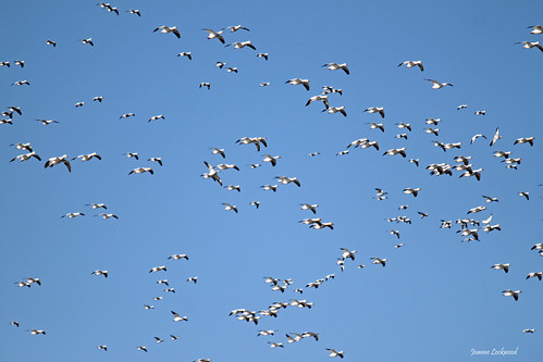 More Snow Geese incoming