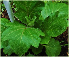 Solanum melongena (MissyPenny) Tags: green leaves garden pennsylvania eggplant nightshade edible buckscounty bristolpennsylvania