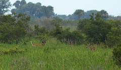 couple bucks (the feral man) Tags: nature natural florida dryprairie kissimmeeprairie staeparks kissimmeeprairiepreservestatepark