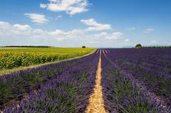 Flowers 2 (Fil.ippo) Tags: flowers landscape nikon meadow lavender sunflower campo provence filippo provenza girasoli lavanda d7000 filippobianchi