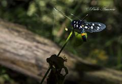 (amoroso.paolo92) Tags: natura vulture farfalla rara bosco melfi bellezze laghi boschi specie monticchio
