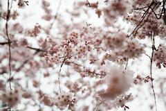 櫻花 (ilin Huang) Tags: 日本 2014 京都御苑 京都市 京都府 京阪神親子七日遊