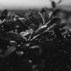 R0005749 (Ming Yam) Tags: bw white plant black flower leaves square hongkong leaf natural hill