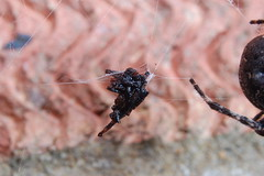 Bad Divorce Settlement (Procrustes2007) Tags: uk england food spider suffolk britain arachnid flash nikond50 sudbury closeuplens nucteneaumbratica walnutorbweaver nikkorafs1855dx gridreftl883407 d50noctural