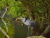 heron eating 1 (AngelCrutch) Tags: heron bird waterfowl hunting fishing wildlife nature newmillerdam beak catchingfish longlegs wakefield westyorkshire yorkshire uk