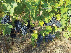 "Levin Organic Gamay Harvest 2014 • <a style=""font-size:0.8em;"" href=""http://www.flickr.com/photos/133405556@N08/20071068072/"" target=""_blank"">View on Flickr</a>"