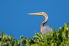 Purple Heron |   (Buddhika R) Tags: bird heron purple muthurajawela buddhikawijayawardhana