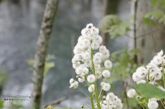Dandelion (KrishnaChinya) Tags: europe dandelion forest flower nikon crotia beautifulplace nature
