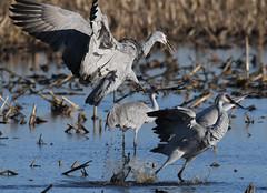 Sandhill Cranes (larryvenus) Tags: sandhillcranes sandhillcranesdancing consumnesriverwildlifepreserve nikon nikond500 tamron tamron150600mmg2 sanjoaquincountybirds statenisland lodicranes