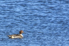 NORTHERN PINTAIL (M) (Lisa Plymell) Tags: nikond7200 water duck squawcreeknwr sigma150500 pintail bird