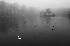 """Swan • <a style=""""font-size:0.8em;"""" href=""""http://www.flickr.com/photos/45090765@N05/31176582473/"""" target=""""_blank"""">View on Flickr</a>"""
