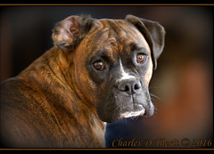 What is that you say? (ctofcsco) Tags: 1d 1div black boxer boxerdog brown canon colorado coloradosprings dog ef200mm ef200mmf2lisusm eos1dmarkiv explore female mark4 markiv portrait supertelephoto bokeh explored geo:lat=3893083779 geo:lon=10489145279 geotagged gleneyrie nature northamerica telephoto wildlife unitedstates usa animal pet
