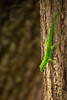 Green gecko lizard (malc1702) Tags: greengeckolizard lizard animals nature green beauty nikond7100 nikkor18140mm seychelles outdoor closeup greenlizard fantasticnature bokeh treebark