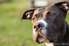 PSVC_20170106_IMG_2874.jpg (publicserviceco) Tags: doggo portrait backyard ball dog pitbull cute blackgrass rescuedog play adopt