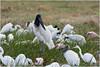 Wildlife (Jan H. Boer, Nature photographer) Tags: jabiru jabirumycteria wildlife nature costarica wetlandsofranchohumo nikon d5200 afsnikkor200500f56eedvr jan´sphotostream2017