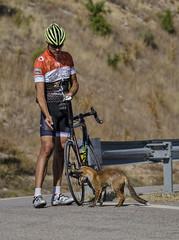 El ciclista i la guineu, _DSC7407 (Francesc/Francisco) Tags: ciclista guineu àger colldàger zorro zorra cyclist cycliste fox chienne animal persona bicicleta