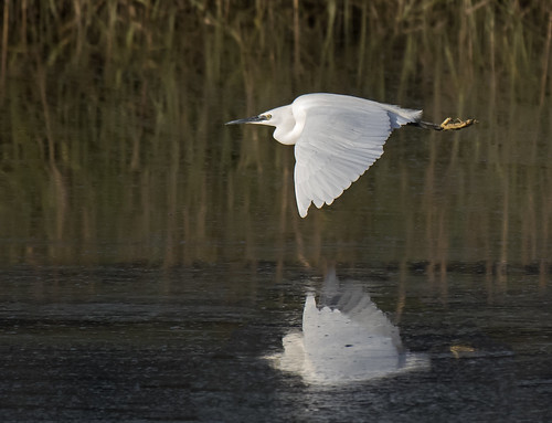 _DSC9233...Little Egret, reeds & reflections