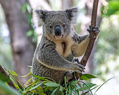 Koala (Kiwi-Steve) Tags: australia koala koalabear animal tree nature nikond7200 nikon naturethroughthelens