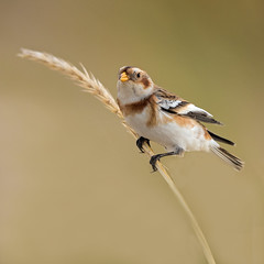 Snow Bunting (coopsphotomad) Tags: bunting snowbunting bird wildlife nature canon 500mm grass dunes seashore animal outdoor