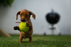 Catch it (photographyzimbo) Tags: dogs dog hund hunde ball tennisball gelb grün gras bbq grill garden catching jumping jump sprung springen pellota pelota playing spielen