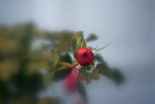 Rose de décembre - Rose of december