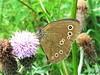 Butterfly 1128 (+450000 views!) Tags: butterfly borboleta farfalla mariposa papillon schmetterling فراشة