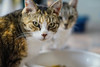 Rose & Belle - FFF (Light Echoes) Tags: sony a6000 2016 winter forgottenfelinesandfidos cat chat kot gatto feline pet katze kat kalo котка gato gate gat animal 고양이 γάτα kočka 貓 القط kass kissa חתול बिल्ली miv macska kucing 猫 vighro kaķis katė qattus katten گربه pisica кошка mačka katt แมว kedi кішка بلی mèo cath rescue tabby rose bellw