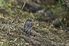 Verzellino dalle tre strie, Serinus tristriatus, Brown-rumped Seedeater (paolo.gislimberti) Tags: ethiopia etiopia mimicry mimetismo animaliambientati animalsintheirenvironments sottobosco undergrowth uccelli birds