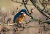 Kingfisher (ellie.taylor30) Tags: anton hampshire hiwwt sigma sigma150600 nikonnaturephotography nikon nature flickrnature bird