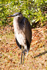 Heron in the Sun (Stuart Borrett) Tags: animal bird ecology heron wildlife wilmington northcarolina usa